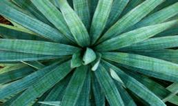 growing-yuccas