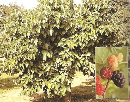 tree mulberries